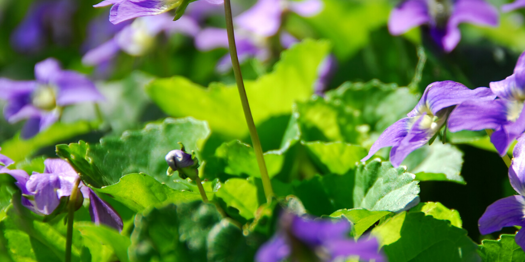 violet season